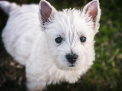 Scrappy- West Highland Terrier Pup (Jeff 05) Tags: f28 ononesoftware nikon2470mm westhighlanderterrier nikond300s perfecteffects9