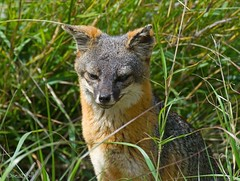 ISLAND FOX (sea25bill) Tags: california morning sun nature animal mammal wildlife gray fox santacruzisland urocyonlittoralissantacruzae