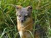 ISLAND FOX (sea25bill) Tags: california morning sun nature animal mammal wildlife gray fox santacruzisland urocyonlittoralissantacruzae