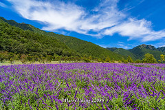 Harry_22088,,,,,,,,,,,,,,,,,,,,,,,,,,Flower,Mountain,WuLing Farm,Shei-Pa National Park,National Park,TaiChung (HarryTaiwan) Tags: mountain flower nationalpark nikon taiwan taichung    d800        wulingfarm       sheipanationalpark               harryhuang  hgf78354ms35hinetnet adobergb