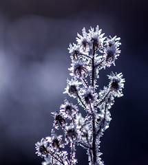 Comienza a Helar (TitiZarote) Tags: espaa naturaleza planta luz hielo teruel helada monroyo bajoaragon