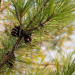 new year plant Pine Tree! thumbnail