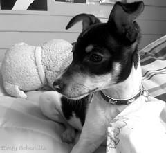 Nostalgic (Estefy Bobadilla) Tags: bw dog pet cute blancoynegro monochrome animal puppy blackwhite can perro cachorro mascota foxterrier