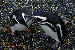Magellanic penguins, Beagle Channel, Tierra del Fuego, Argentina (hjkwantstoknow) Tags: beagle argentina tierradelfuego penguin wildlife wildpenguin