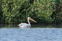 Pelican in the Danube Delta (Cost3l) Tags: nature water wildlife natura pelican danubedelta pasare pelicansphotographybycostelslincu