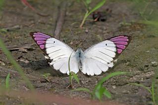 Queen Purple Tip (Colotis regina), Sakania, DR Congo