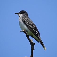 Eastern kingbird (carpingdiem) Tags: birds spring indianapolis easternkingbird