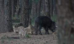 DSC08829rawcon_a (ger hadem) Tags: veluwe zwijn eekhoorn gerhadem