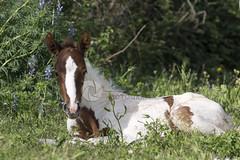 Relax... (tamara.lsanchez) Tags: horse naturaleza nature caballo paint ecuestre equestrian pio potro foal painthorse horsephotography fotografiaecuestre