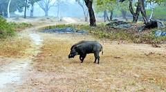 Wild Boar (Smevin Paul - Thrisookaran !! www.smevin.com) Tags: wild  india male paul photography tiger reserve boar tamil ooty nadu badipur smevin smevins thrisookaran
