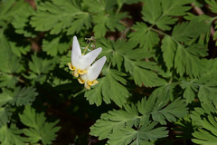 Dutchman's Breeches - LSPP (agawa2yukon) Tags: springflowers algoma dicentracucullaria lakesuperiorprovincialpark lspp