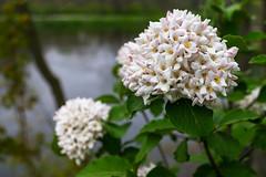 Pretty in the Park (tquist24) Tags: flowers flower water geotagged spring nikon bokeh indiana goshen nikond5300 goshenmillracecanal