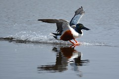 Touching Down. (stonefaction) Tags: nature birds scotland angus wildlife reserve loch shoveler kirriemuir rspb kinnordy