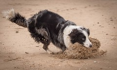 Frisby 2 (Chris Willis 10) Tags: dog game beach collie play border will frisky crosby
