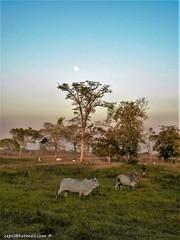 Cows in the pasture (cepsl) Tags: sunset venezuela atardeceres llanos
