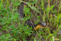 IMG_7140-1 Copper-bellied Water Snake (John Pohl2011) Tags: animal canon john reptile serpent pohl sx50hs canonsx50hs