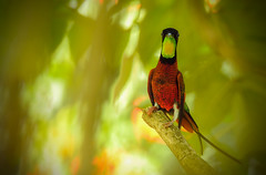 Topaza pella (Aisse Gaertner) Tags: brazil bird nikon hummingbird p900 coolpix birdwatching birdwatcher topazapella brilhodefogo blinkagain