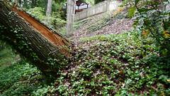 DSCN1424 (VerlynC) Tags: tree falling hickory