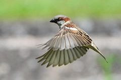 DSC_7677 (sylvettet) Tags: bird nature flying inflight sparrow oiseau 2016 moineauenvol nikond5100