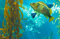 Monterey Bay Aquarium (PrettyHungry) Tags: ocean california fish aquarium bay monterey montereybayaquarium kelp attraction