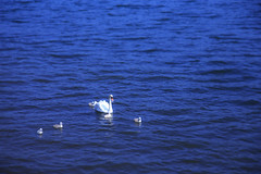 swan (20EURO) Tags: family blue summer white lake holiday cute bird nature water beautiful childhood landscape swan father sunday mother surface chick growth parent photograph lovely raising instagram canoneos5dmark