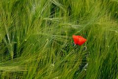Un P'tit Coquelicot au milieu d'pis de bl (Excalibur67) Tags: flowers red nature fleurs rouge nikon contemporary sigma poppies papaver coquelicots pavots d7100 1770f284dcoshsmc