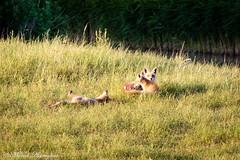 Three young foxes playing (Kenjirio) Tags: summer animals wildlife zomer zandvoort amsterdamse 2016 waterleidingduinen waternet