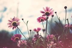Margeriten (claudiarndt) Tags: margeriten marguerites flowers blumen nature natur garten garden toycamera analogcolor