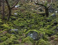 Boulders near Pistyll Rhaeadr, Berwyn Mountains near Llanrhaeadr-ym-Mochnant, Powys, UK (Ministry) Tags: uk mountain tree leaves wales waterfall moss cymru boulder scree berwyn mid powys rhaeadr pistyll canol llanrhaeadrymmochnant tanypistyll