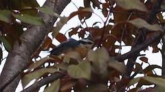 Plum Tree 20140824 (caligula1995) Tags: 2014 nuthatch plumtree