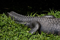 National Zoo  (1287) Alligator (smata2) Tags: zoo gator reptile alligator nationscapital smithsoniannationalzoo itsazoooutthere zoosofnorthamerica