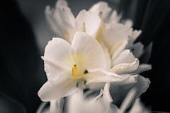 White and Yellow and Grey (jasenk) Tags: plant flower desaturation selectivecolor whiteginger