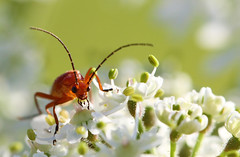 Common red soldier beetle (Lorraine1234) Tags: macro nature netherlands insect redsoldierbeetle