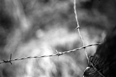 A barbed wire fantasy (Tiefengeist) Tags: bw cn 50mm kodak 400 kodakbw400cn bw400cn c41 revueflexsd1 ar50mmf19