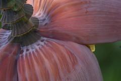 banana heart (jbardini@yahoo.com) Tags: plant nature fruit photography outdoor