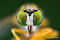 Fly (Karlgoro1) Tags: canon eos 7d macro photo mpe 65mm f28 eye eyes zerene stacker insect focus stack closeup bug head fly macrolife color animal depth field background pattern organic bright