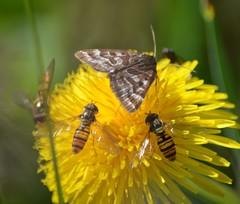 Episyrphus balteatus (1), NGIDn516410169 (naturgucker.de) Tags: episyrphusbalteatus naturguckerde wasserdellmoorpfaddahlem cvolkeribisch ngidn516410169