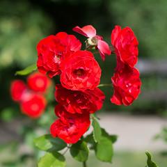 Roses (PiotrTrojanowski) Tags: pink red roses summer rose garden bloom warsaw botanic