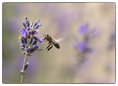 Maya (cornelis1980) Tags: summer motion color colour nature beautiful canon insect eos flying close image flight bee l 100 feeling mm usm f28 ef colourfull 70d blurrwildlife