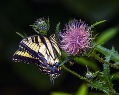 Eastern Tiger Swallowtail Butterfly on Bull Thistle (wplynn) Tags: eastern tiger swallowtail butterfly bull thistle cirsium vulgare
