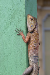 Lazy Lizard (RoosterMan64) Tags: cambodia closeup lizard siemreap