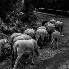 retour du troupeau (jemazzia) Tags: extrieur outside noir et blanc black white campagne troupeau moutons animaux x
