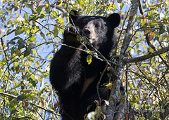 Munching on some berries (Maja's Photography) Tags: bears bc blackbear animals amazing ashberries nature canon critters closeup conservation cubs climbing trees wildlife wilderness green leaves naturephotography