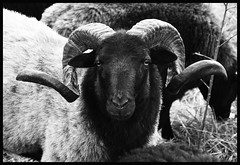 The boss of sheep (Lala89_Photos) Tags: sheep schaf schafe horns hrner face gesicht animal tier herd herde mammal looking pride proud stolz blackandwhite blackwhite bw