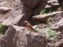 P1120314 (Terezaestkov) Tags: maroko morocco vysokatlas highatlas atlasmountains dabaltubkal jabaltbql jbeltoubkal bird