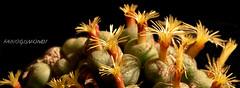 CONOPHYTUM UVIFORME (fabiogis50) Tags: conophytumuviforme succulent flower flowers fiori macro