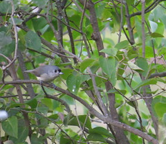 Tufted Titmouse, Urban Forestry Center, Portsmouth, NH 9/27/16 (LJHankandKaren) Tags: titmouse tuftedtitmouse urbanforestrycenter