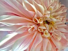 dahlia (shot on my iPhone 6s) (norlandcruz74) Tags: flower flora october 2016 fall autumn norland cruz filam filipino pinoy river garden south cairo ny new york iphone 6s apple macro close up