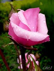 ___ bellezza bagnata! ___ (erman_53fotoclik) Tags: rosa bellezza bagnata fiore panasonik dmc fx10 macro flora petali pink gocce acqua foglie verdi erman53fotoclik