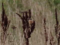 Putative Stejneger's Stonechat (AndydS6) Tags: siberianstonechat stegneri donnanook lincolnshire